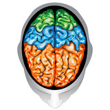 Human brain top view. Illustration body part vector, human brain top view Royalty Free Stock Image