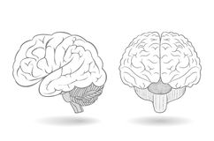 Human brain in two perspectives Royalty Free Stock Photo