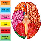 Human brain underside view. Illustration body part, human brain underside view Stock Images