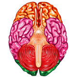 Human brain underside view vector. Illustration body part , human brain underside view vector Royalty Free Stock Photo