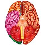 Human brain underside view vector Stock Photos
