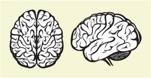 Human brain Royalty Free Stock Photo