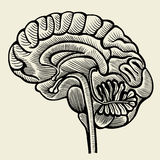 Human brain - vintage engraved illustration Stock Photography