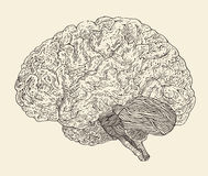 Human brain vintage illustration, engraved retro style, hand drawn Royalty Free Stock Images
