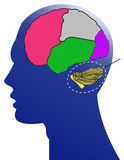 The human and brain. On white background Royalty Free Stock Photo