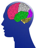 The human and brain. On white background Stock Images