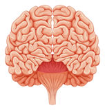Human brain on white background Stock Images