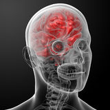 Human brain X ray Royalty Free Stock Image