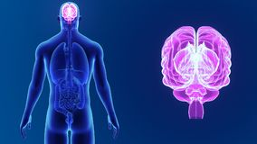 Human Brain zoom with organs stock video footage