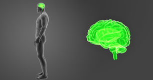 Human Brain zoom with Organs Lateral view. The human brain has the same general structure as the brains of other mammals, but has a more developed cortex than royalty free illustration