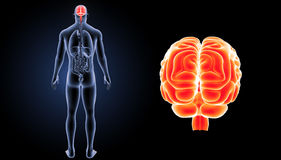 Human Brain zoom with organs posterior view Stock Photos