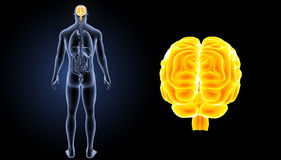 Human Brain zoom with organs posterior view Royalty Free Stock Photography