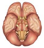 Human brains base. Detailed illustration. Isolated on a white bacground stock illustration
