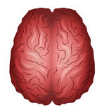 Human brains Stock Photos