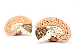 Human brains model on white background. Two human brain hemispheres models on white background stock photos