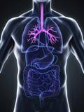 Human Bronchi Anatomy Stock Photos