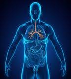Human Bronchus Anatomy. Illustration. 3D render Royalty Free Stock Images