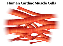 Human cardiac muscle cells. Illustration of the human cardiac muscle cells on a white background vector illustration