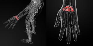 human carpal bones Royalty Free Stock Photography