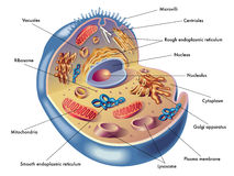 Human cell. Medical illustration of elements of human cell Royalty Free Stock Photos