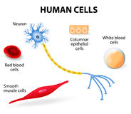 Human cell collection. Anatomy of human cells (neuron, red and white blood cell, columnar epithelial cells and smooth muscle cells). vector illustration Stock Image