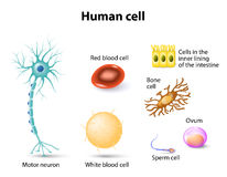 Human cells. Human anatomy. Motor neuron, Red blood cell and White blood cell, bone cell, sperm cell and ovum, cells in the inner lining of the intestine. Set Stock Photo