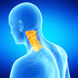 The human cervical spine. Medical illustration of the human cervical spine Royalty Free Stock Photography