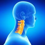 The human cervical spine. Medical illustration of the human cervical spine Stock Image