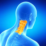 The human cervical spine Stock Photo