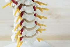 Human cervical spine model. Close-up view of human cervical spine model Royalty Free Stock Photos