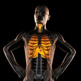 Human chest radiography scan Stock Photo