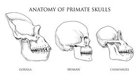 Human and chimpanzee, gorilla. biology and anatomy illustration. engraved hand drawn in old sketch and vintage style. Monkey skull or skeleton or bones Stock Photo