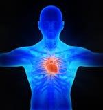 Human circulatory system vector illustration