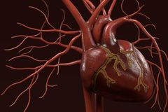 Human circulatory system Stock Photography