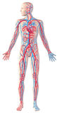 Human circulatory system, full figure, cutaway anatomy illustration, with clipping path included. stock illustration