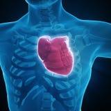 Human circulatory system. Medical illustration Stock Photos