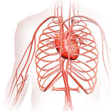 Human circulatory system Royalty Free Stock Photography