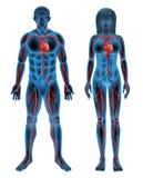 Human circulatory system Royalty Free Stock Images