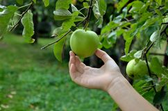 Human Collecting apple. Human Hand collecting fresh green apple from the tree in the garden Stock Photography