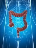 Human colon. 3d rendered illustration of the male colon Royalty Free Stock Images