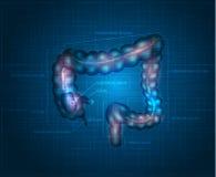Human colon abstract blue background. Detailed illustration of colon: Ileum, Appendix, Ascending colon, Transverse colon, Descending colon, Sigmoid colon Stock Photo
