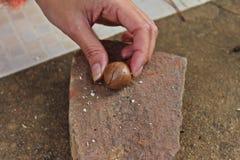 Human cracking macadamia nuts. Woman prepares cracking macadamia nuts Royalty Free Stock Photo