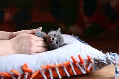 Kitten in human`s hands, British Shorthair on a pillow. Human cuddling a small British Shorthair kitten on a pillow stock photo