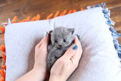 Kitten in human`s hands, British Shorthair on a pillow stock images
