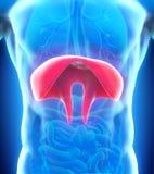 Human Diaphragm Anatomy Stock Photography