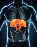 Human Diaphragm Anatomy Royalty Free Stock Photos
