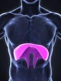 Human Diaphragm Anatomy Royalty Free Stock Photography