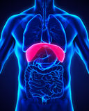 Human Diaphragm Anatomy Stock Image