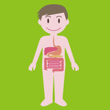 Human digestive organs, simplified illustration Royalty Free Stock Image
