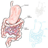Human Digestive System Stock Image